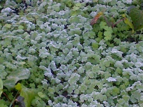 Frost on the clovers