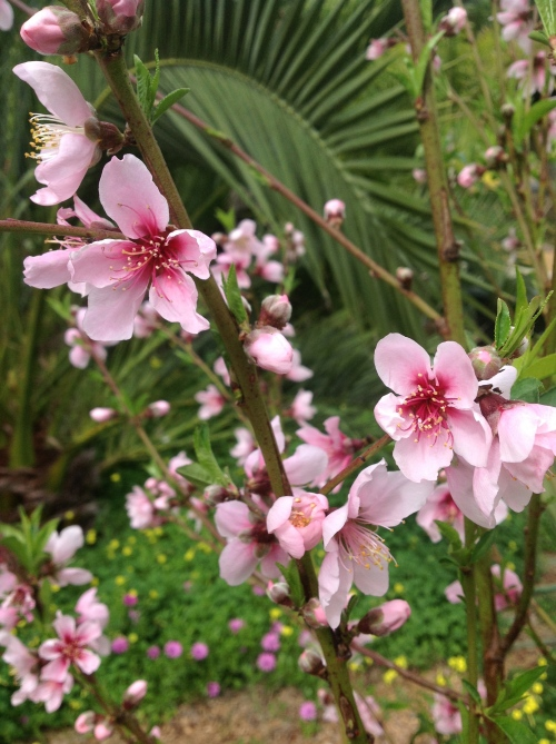 These delicate blossoms cover the entire nectarine tree this year. I'm hoping for a bountiful harvest come July!