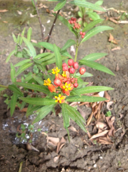 Even if our milkweed plant never supports a Monarch butterfly population, I will still love it for its tiny yellow and orange blossoms.