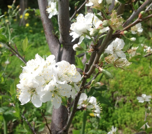 The Methley Japanese Plum tree is self-pollinating and produces dark red, medium-sized plums.
