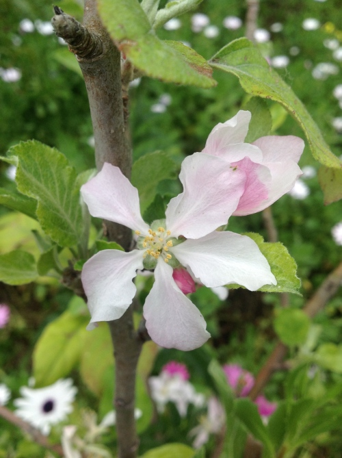 The Anna apple tree is a low-chill variety that thrives in sunny Southern California.