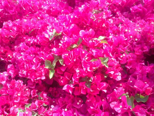"I defy anyone to spell ""fuchsia bougainvillea"" correctly without the help of this post or Google"