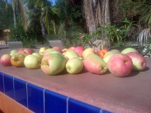 These are the low-chill varieties of apples called Anna and Dorsett Golden.