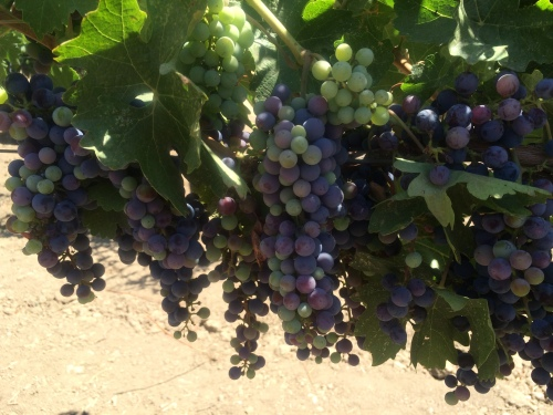 Cabernet grapes undergoing veraison at Frog's Leap Winery in Napa Valley.